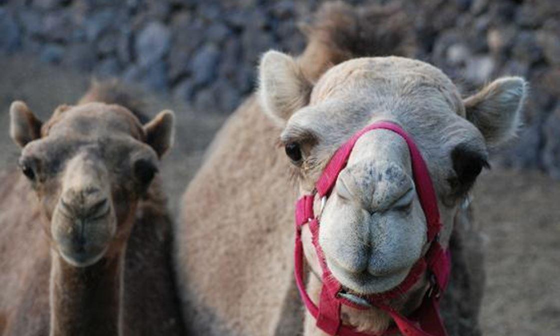 2 Friendly Camels Camel Park